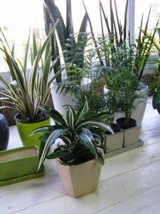 צמחים מטהרי אוויר