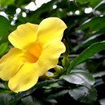 אלמנדה צהובה